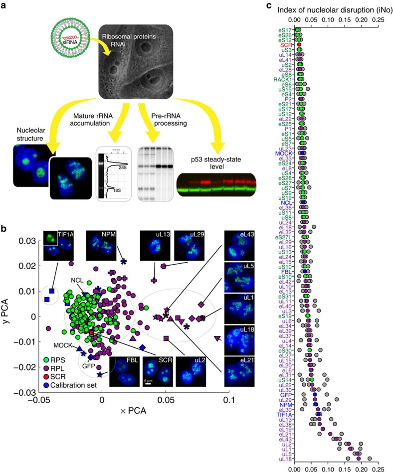 Systematic screening of human r-proteins reveals that uL5 (RPL11) and uL18 (RPL5) are the strongest contributors to nucleolar structure maintenance. ( a ) Experimental strategy: all 80 r-proteins were depleted one by one in human cells by use of specific siRNAs. The nucleolar structure (fluorescence microscopy), the accumulation of mature 18S and 28S rRNAs (electropherograms), pre-rRNA processing (high-resolution northern blotting), and steady-state accumulation of p53 (fluorescent western blotting) were monitored. ( b ) PCA showing a classification of r-proteins according to their requirement for nucleolar structure maintenance. Each r-protein was depleted in three knockdown experiments, each performed with a different siRNA. The image-processing algorithm that we designed for this analysis involves selecting five discriminant shape and textural features, computing five d k values, and reducing the five dimensions to two by PCA. In the resulting plot, each coloured dot represents one population of cells treated with one siRNA. Dot colour is indicative of the targeted protein: green for SSU r-proteins and magenta for LSU r-proteins. The mean of three populations of cells treated with a non-targeting control siRNA (SCR) is shown in red. Blue symbols represent the six calibration controls (FBL, GFP, nucleolin, nucleophosmin, MOCK and TIF1A, see Supplementary Fig. 1 ). Insets show images of the nuclei of cells depleted of representative proteins with the DNA stained in blue and the nucleoli appearing in green (FBL). For a few representative examples, a specific symbol is used (for example, a diamond for uL5). RPL, r-proteins of the LSU; RPS, r-proteins of the SSU. ( c ) r-proteins and calibration controls classified according to the severity of nucleolar disruption caused by their absence. The iNo was defined as the sum of the d k values of the five most discriminant shape and textural features identified in this work (Methods section). Higher iNo correspond to more severe disruption. Colour-coding as in b . The coloured dots are the means of three individual experiments (shown in grey). Note: the r-proteins are named according to a recently revised nomenclature 24 where the 'e' prefix stands for eukaryote-specific and 'u' for universal (present in bacteria, archaea and eukaryotes).