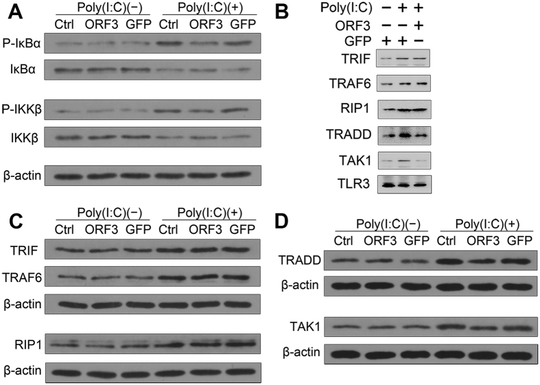 ORF3 suppresses NF-κB signaling via TRADD and RIP1. ( A ) ORF3 suppresses the phosphorylation of IKKβ and IκBα. ( B ) TLR3 pulls down of key downstream molecules detected by a coimmunoprecipitation assay. ( C,D ) TRADD and TAK1 expression levels are down-regulated in ORF3-pretreated cells compared with GFP-pretreated cells after stimulation with Poly(I:C). In contrast, TRIF, TRAF6 and RIP1 expression levels are increased by this stimulation.