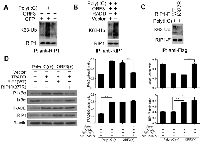 K377R mutation of RIP1 abolishes the TRADD-mediated restoration of NF-κB activation. ( A ) Pretreated cells were harvested for immunoprecipitation with an anti-RIP1 antibody to pull down K63-Ub. ORF3 inhibits K63-Ub of RIP1. ( B ) Overexpression of TRADD restores RIP1 K63-Ub. ( C ) K63-Ub is absent from K377R-mutated RIP1. (D) TRADD, RIP1 and mutant RIP1 plasmids were co-transfected with ORF3 at a ratio of 1:2 for 48 h, and the cells were then treat with Poly(I:C) for 12 h. The expression of phosphorylated IκBα was assessed to measure NF-κB activity using western blotting, with β-actin as a loading control. In the presence of Poly(I:C) and ORF3, K377R- mutated RIP1 decreased the level of phosphorylated IκBα, thus abolishing the NF-κB activation restored by TRADD (**P