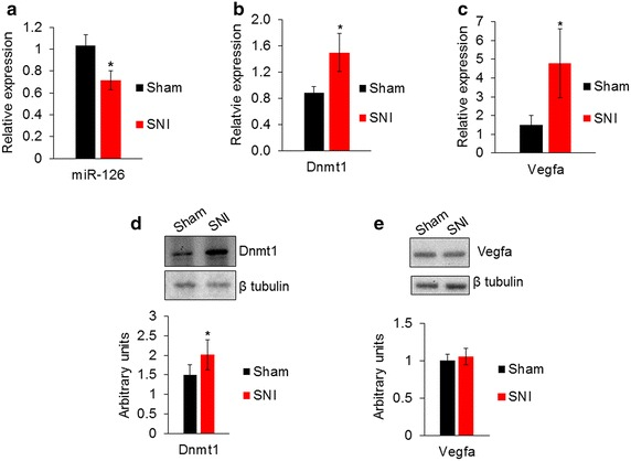 Expression of miR-126 and its target genes Dnmt1 and Vegfa in the DRG after nerve injury. a Relative expression of miR-126 determined by qPCR shows a reduction in miR-126 in SNI model compared to DRG from sham control. U6 was used for normalization ( n = 8 sham, n = 7 SNI). b Relative expression of Dnmt1 mRNA and c Vegfa transcripts showed an increase in the DRG after nerve injury compared to control ( n = 3). Gapdh was used as a normalizer. d Representative Western blot and quantification showed an increase of Dnmt1 protein in the DRG after nerve injury. e Western blot and quantification showed Vegfa protein was not significantly different in DRG after nerve injury ( n = 3 from pooled samples, three DRG were pooled for each sample). Significance determined using unpaired Student's t test, p value *