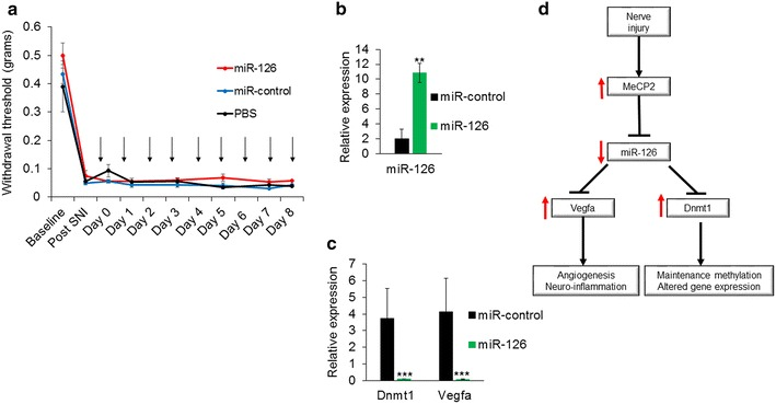 Administration of exogenous miR-126 decreased Dnmt1 and Vegfa expression in vivo but did not alter pain sensitivity. a Mechanical sensitivity measured by von Frey filaments showed that intrathecal delivery of miR-126 did not alter the paw withdrawal threshold in SNI model mice. Arrows indicate daily intrathecal injections with 2 nmol miR-126 or control miRNA via catheter ( n = 5 for miR-126 and miR-control injected mice, n = 3 for PBS injected mice). b Confirmation of miR-126 delivery to DRG. A qPCR performed using DRG collected from mice injected with miR-126 or control miRNA showed an increase in miR-126 in mice that received miR-126 compared to miR-control injected mice indicating successful delivery. c Relative expression of Dnmt1 and Vegfa mRNA in the DRG of miR-126 and control injected mice. Increased miR-126 decreased the expression of endogenous Dnmt1 and Vegfa compared to miR-control injected mice. Significance determined using unpaired Student's t test, p value, **
