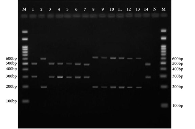 Agarose Gel Electrophoresis of 18sS rRNA PCR Products of Different Mucorals After Restriction Digestion With XmnI and AcII Lanes 12, 11, 10, 9, 8, 2 and 13, M. circinelloides , M. racemosus , M. ramosissimus or M. plumbeus ; Lanes 3, 1, 7, 6, 5, 4, and 14, L. corymbifera or L. blakesleeana ; N, negative control; M, 100 bp molecular size marker.