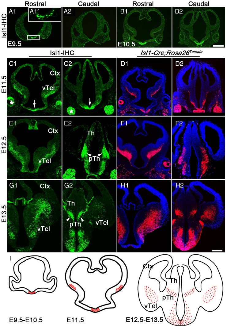 Development of Isl1-positive cells in forebrain. Isl1 expression was studied using anti-Isl1 immunohistochemistry ( A , B , C , E, and G ) and by mapping tomato fluorescent protein expression using Isl1-Cre;Rosa26 Tomato mice ( B , D , F , and H ). Inset in A1 ( A 1′) is a magnification of the boxed area. ( A and B ) Isl1-positive cells appeared at E9.5–E10.5, close to midline. ( C and D ) At E11.5, cells expressing Isl1 and tomato protein appeared in ventral telencephalon (vTel) and hypothalamic anlage (arrows). ( E – H ) At E12.5 ( E and F ), the number of Isl1-positive cells increased in ventral telencephalon and hypothalamic anlage, and another population appears in the prethalamic region (pTh, arrowheads), a pattern that became better defined at E13.5 ( G and H ). I: schematic summary of development of Isl1-positive cells. *, trigeminal ganglion. Th, thalamic anlage; Ctx, cortex; IHC, immunohistochemistry. Scale bars: 400 μm.