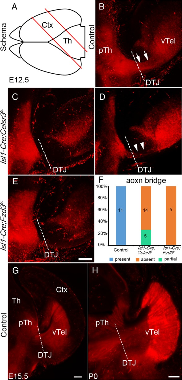 "The early scaffold ""bridge"" between the ventral telencephalon and the prethalamus. ( A ) Schema illustrating the preparation of oblique slices. ( B – E ) Merged stacks of sections generated by 2-photon microscopy, using E12.5 Isl1-Cre;Rosa26 Tomato mice to label Isl1-positive cells and fibers in control ( B ), Isl1-Cre;Celsr3 f/− ( C and D ) and Isl1-Cre;Fzd3 f/− embryos ( E ) at E12.5. In all control embryos, a connecting ""bridge"" ( B , arrows) was evident across the DTJ (interrupted line), between ventral telencephalon (vTel) and prethalamus (pTh). The bridge was completely absent in 14 Isl1-Cre;Celsr3 f/− samples ( C ), and partial in 5 other Isl1-Cre;Celsr3 f/− samples ( D , arrowheads) The bridge was fully absent in all Isl1-Cre;Fzd3 f/− samples ( E ). ( F ) Summary histogram. ( G and H ) Axon bundles from Isl1-positive cells crossing the DTJ were visualized in sections of E15.5 ( G ) and P0 Isl1-Cre;Rosa26 Tomato embryos. Ctx, cortex; Th, thalamus. Scale bars: 50 μm ( B – E ); 200 μm ( G and H )."