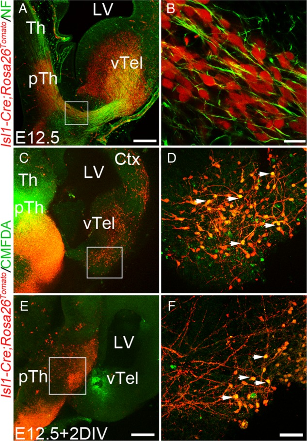 Isl1-positive cells reciprocally migrate across the DTJ from the prethalamus and ventral telencephalon. ( A and B ) The early scaffold bridge is composed of Isl1-positive fibers and migrating cells disclosed using anti-neurofilament (NF) IHC and Isl1-Cre;Rosa26 Tomato tracing. Oblique section at E12.5, with Isl1-positive cells revealed using the Tomato transgene, and axons stained with anti-neurofilaments (green) ( A ).The selected area from the scafold bridge in A contained both yellow fibers and red cells ( B ). ( C – F ) In E12.5 oblique sections from Isl1-Cre;Rosa26 Tomato embryos, CMFDA (green) was placed into the prethalamus ( C ) or the ventral telencephalon ( E ), and slices were cultured for 2 days (2DIV). Isl1-positive cells were red due to Tomato fluorescence. Double labeled cells could be seen in both ventral telencephalon (arrows in D ) and prethalamus (arrows in F ). ( D and F ) are selected areas from ( C and E ), respectively. pTh, prethalamus; Ctx, cortex; vTel, ventral telencephalon; Th, thalamus; LV, lateral ventricle. Scale bars: 200 μm ( A , C , and E ); 20 μm ( B ); 50 μm ( D , F ).