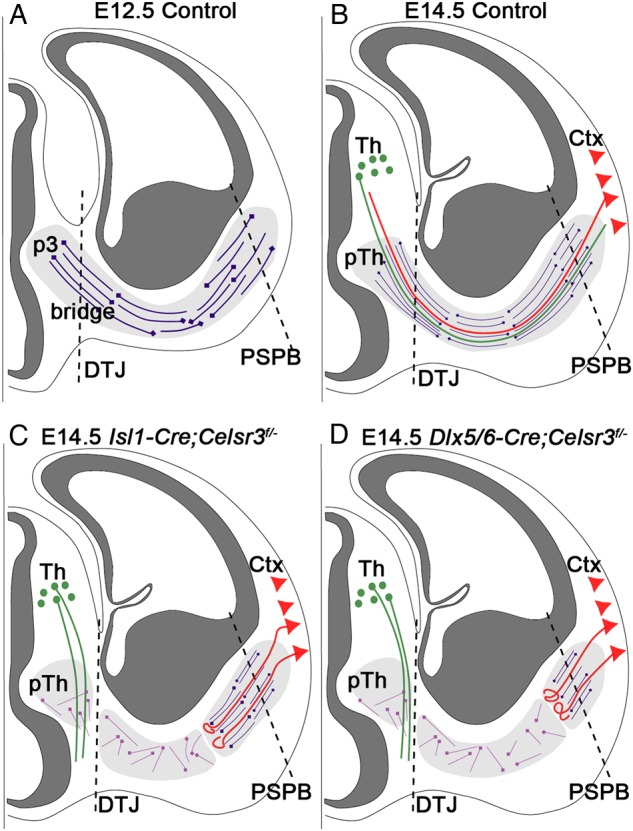 "Summary of defective axonal bundles in Isl1-Cre;Celsr3 f/− mice. ( A ) In control embryos at E12.5, prior to growth of thalamic and cortical axons, Isl1-positive cells (dark mauve) form an early scaffold that extends from prosomere 3 (p3), across the DTJ, in ventral telencephalon, and across the PSPB to subcortex (light gray area). Reciprocal projections across the diencephalon–telencephalon junction (DTJ) form a ""bridge"" which is absent in Celsr3 and Fzd3 mutant embryos. Dark gray: ventricular zones. ( B – D ) At later stages, for example, E14.5, thalamocortical (green) and corticothalamic (red) axons extend in the corridor in vTel (light gray) and reach their respective targets in control mice ( B ). In Isl1-Cre;Celsr3 f/− mice ( C ), the early scaffold is disorganized in regions of Isl1 expression (light mauve cells). Thalamocortical axons (green) are misrouted ventrally, and corticothalamic axons (red) stall and form a whorl in the corridor, more medially than in Dlx5/6-Cre;Celsr3 f/− mutants ( D ). Ctx, cortex; pTh, prethalamus; Th, thalamus; DTJ, diencephalon–telencephalon junction; PSPB, pallium–subpallium boundary."