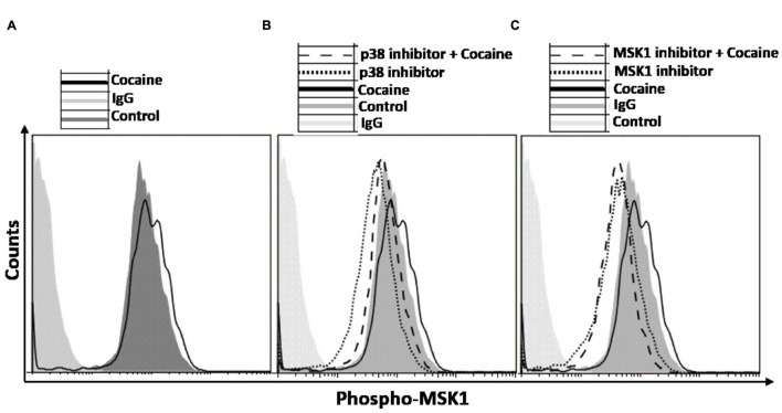 Induction of p38 MAPK/MSK1 signaling cascade in uninfected THP-1macs by cocaine can be abrogated by pharmacological inhibitors of p38 MAPK and MSK1. THP-1macs were pretreated with 10 μM p38 MAPK inhibitor (SB-203580) or 10 μM MSK1 inhibitor (SB-747651A) for 1 h prior to overnight treatment with cocaine. Cells were then harvested, stained with appropriate antibodies or isotype controls, and analyzed by flow cytometry. (A) Levels of phospho-MSK1 in cocaine-treated cells. Levels of phospho-MSK1 in cocaine- and p38 MAPK inhibitor-treated cells (B) , and in cocaine- and MSK1 inhibitor-treated cells (C) .