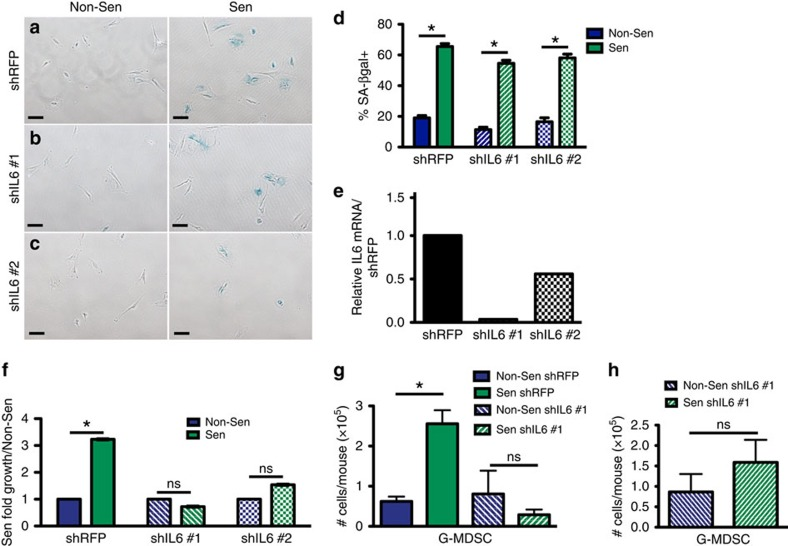 Senescence-derived IL-6 is necessary to drive G-MDSC accumulation and tumour promotion. ( a ) Senescence-associated β-galactosidase (SA-βgal) staining (blue) of shRFP-expressing MSFs treated with 10 μM TAM (Sen) or vehicle (Non-Sen) revealed ∼65% of cells were senescent following TAM treatment. Scale bar, 100 μm. n =3. ( b ) SA-βgal staining (blue) of shIL6#1-expressing MSFs treated with 10 μM TAM (Sen) or vehicle (Non-Sen) revealed ∼55% of shIL6 #1 cells were senescent following TAM treatment. Scale bar, 100 μm. n =3. ( c ) SA-βgal staining (blue) of shIL6#2-expressing MSFs treated with 10 μM TAM (Sen) or vehicle (Non-Sen) revealed ∼55% of shIL6 #2 cells were senescent following TAM treatment. Scale bar, 100 μm. n =3. ( d ) Quantification of SA-βgal-positive shRFP-, shIL6 #1-, and shIL6 #2-expressing cells shown in a – c . Data are mean %-positive cells+s.e.m. * P value
