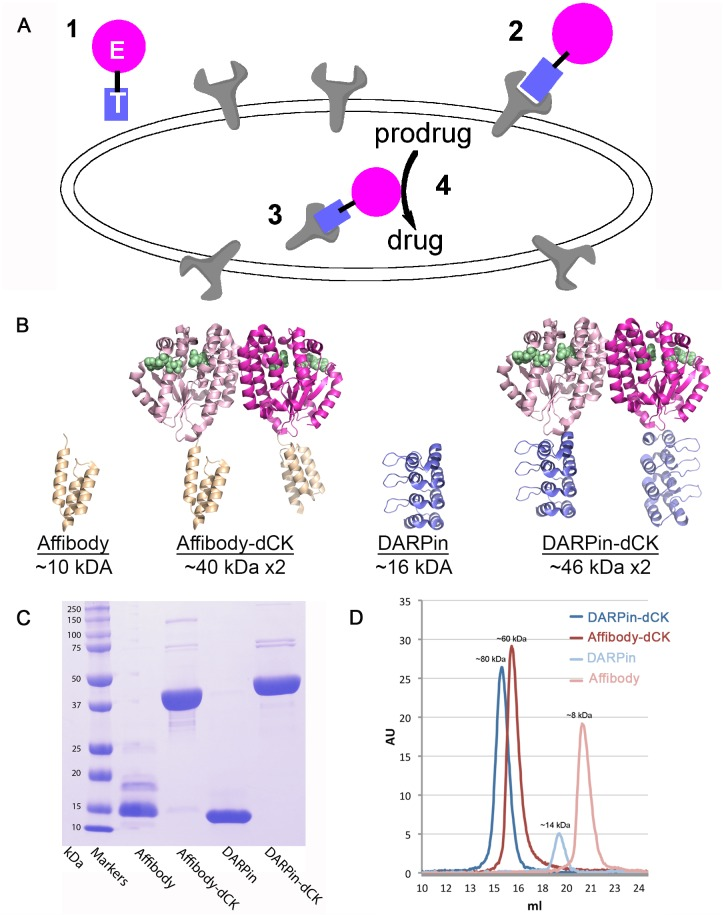 Strategy for preferential activation of prodrugs at target cells and the Her2-affinity reagents used in this study. (A) This strategy relies on a bi-modular fusion protein composed of a cell marker-targeting module (square labeled with T) genetically fused to an enzyme that catalyzes the activation of a prodrug (circle labeled with E). This fusion protein is administered systemically (point 1 ), but it accumulates at the targeted cells by binding to a specific cell surface protein (point 2 ). The fusion protein then enters the cell via receptor-mediated endocytosis or by membrane recycling (point 3 ). Subsequent administration of an appropriate prodrug results in its preferential activation in the targeted cells (point 4 ), thereby killing the targeted cell. (B) Ribbon diagram of the reagents with their molecular size indicated. Affibody, DARPin, and dCK models from PDB IDs 1LP1, 2JAB, and 1P5Z, respectively. The fusion proteins were modeled based on the individual structures. The dimeric nature of dCK result in molecules that contains two anti-Her2 modules, which are expected to increase its avidity to the receptor relative to the single affinity modules. Green spheres denote the substrates binding sites in dCK. (C) SDS-PAGE demonstrates the > 95% purity of the reagents. We note that the DARPin module runs as a smaller protein than the expected size. (D) Gel-filtration analysis of the reagents. The observed elution volumes correspond to the expected sizes of the reagents, with the fusion protein being dimeric, and the single affinity modules being monomeric.