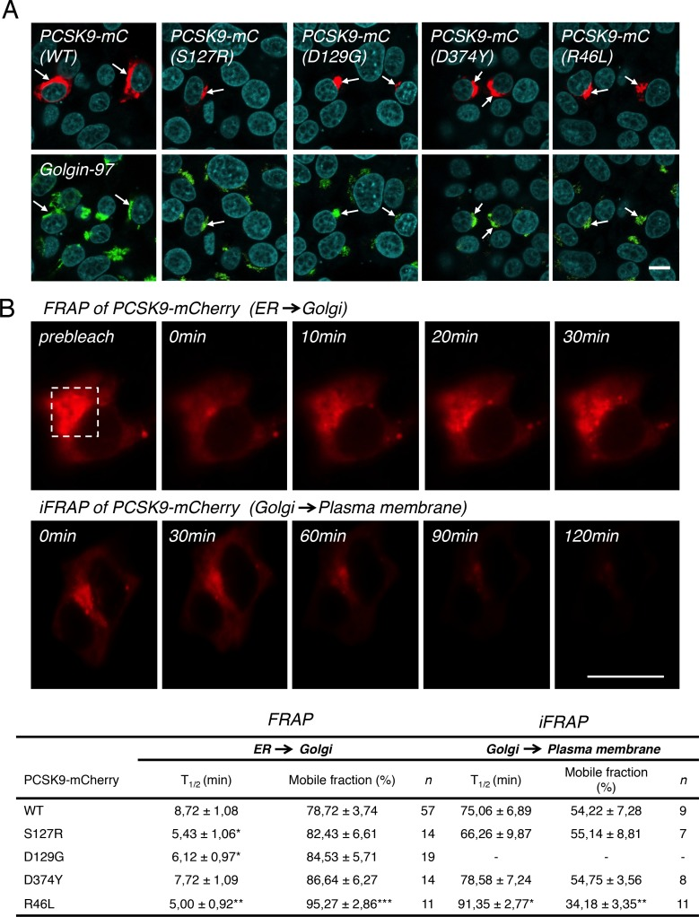 Effect of PCSK9 natural mutants on TGN localization and trafficking dynamics by FRAP and iFRAP. (A) HepG2 cells were transfected with PCSK9-mC WT, GOF S127R, D129G, D374Y or LOF R46L mutants (red) and TGN localization was determined by colocalization (arrows) with Golgin-97 (green) and analysis by confocal microscopy. Nuclei were labeled with TO-PRO-3 Iodide (cyan). (B) Half time (T 1/2 ; min) and mobile fraction (%) calculated from FRAP (ER ➜ Golgi) and iFRAP (Golgi ➜ plasma membrane) experiments in living HepG2 cells for corresponding PCSK9-mC constructs shown in (A). Dashed square represent typical TGN localization of PCSK9-mC before bleach for which fluorescence recovery after photobleaching (FRAP) values were obtained (FRAP). Inverse FRAP (iFRAP) studies in the presence of 200 μg/ml cycloheximide to block protein synthesis (as described in Materials and Methods) were performed for corresponding PCSK9-mC shown in (A). For each PCSK9-mC constructs, mobile fraction (%) at the TGN from FRAP and iFRAP were calculated as described in Materials and Methods. Data are representative of at least three independent experiments are shown as the mean ± S.E.M. Statistical significance: * p ≤ 0.05, ** p ≤ 0.01, *** p ≤ 0.001. Scale bars , 10 μm.