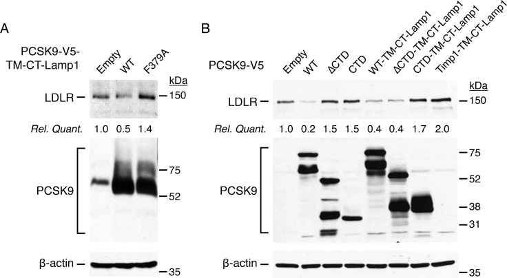 Lysosomal targeting of PCSK9-ΔCTD bypasses the need of CTD to induce LDLR degradation. (A-B) HepG2 cells were transfected without (Empty) or with V5-tagged PCSK9 full-length (FL), ΔCTD, CTD alone or PCSK9-TM-CT-Lamp1 chimeras (FL, F379A, ΔCTD, CTD) or Timp1-TM-CT-Lamp1 (herein used as control). Forty-eight hours post-transfection, LDLR, PCSK9 and β-actin (loading control) protein levels were analyzed by IB. Data are representative of at least three independent experiments