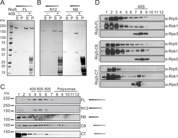 Rrp5 binds to 40S ribosomal subunits in vivo and in vitro. (A) Ultracentrifugation pelleting experiments demonstrate that recombinant full-length Rrp5 binds purified mature 40S subunits in vitro. S, supernatant; P, pellet. (B) The three C-terminal S1 domains are essential for the interaction between Rrp5 and 40S subunits in vitro. Recombinant Rrp5 fragments are used in the same pelleting experiment as 1A. (C) Gradient centrifugation demonstrates a role for the three C-terminal S1 domains and S1–S5 for binding to preribosomes in vivo. (D) Gradient sedimentation experiments of various recombinant Rrp5•Rok1•AMPPCP complexes demonstrate that S1–S5 contributes to Rrp5 binding to 40S ribosomes in vitro. Note that the more sensitive gradient sedimentation experiments are required to demonstrate the more quantitative than qualitative differences in Rrp8_C8 and Rrp5_C7 binding. Because Rrp5_N9 and Rrp5_N12 do not bind Rok1, binding of these fragments requires the pelleting assay. All experiments were repeated at least twice, and representative data are shown.