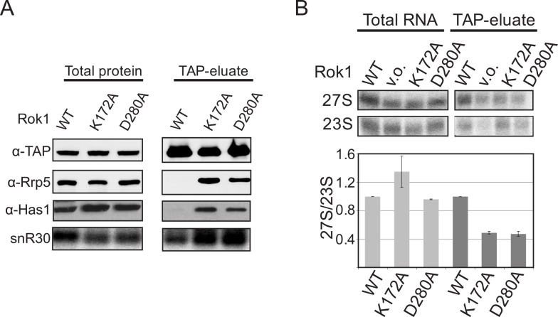 ATP-hydrolysis by Rok1 is required for Rrp5 release from pre-40S ribosomes in vivo. (A) Western and northern blot analysis of pre-40S ribosomes purified from yeast cells with Enp1-TAP reveals the accumulation of Rrp5, Has1, and snR30 in pre-40S complexes isolated from Rok1 ATPase-deficient cells relative to the WT cells. The TAP-antibody was used as a loading control. (B) Northern blot analysis of preribosomes captured with Rrp5-TAP in the presence of wild-type Rok1 (WT) or ATPase-deficient mutants of Rok1 (K172A and D280A) reveals decreased binding to pre-60S subunits (containing 27S pre-rRNAs) relative to pre-40S subunits (containing 23S pre-rRNA). The data from three biological replicates were quantitated and normalized such that in wild-type cells the 27S/23S levels are set to 1 and the mutants are expressed relative to the WT. The numerical data underlying this graph can be found in S1 Data .
