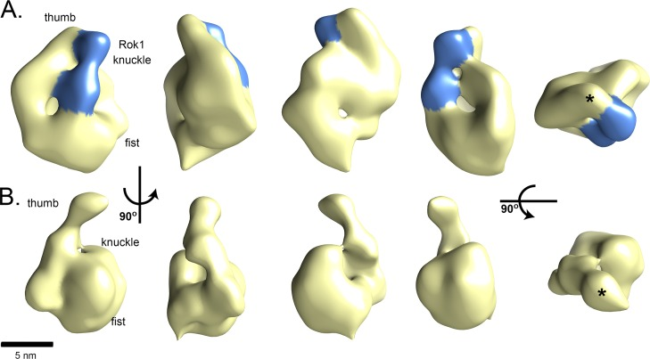 The structure of Rrp5 complexes. 3-D reconstructions of (A) Rrp5•Rok1 or (B) Rrp5•RNA. 90° rotations of Rrp5 complexes around its long axis show the curved, thumb-like projection and hollow fist-like body. The area corresponding to Rok1's RecA motifs is shaded in blue. By Fourier shell correlation (FSC) = 0.5, the structures are each at about 2.8 nm resolution ( S9A Fig ). In the final column, the asterisk marks the tip of the TPR.