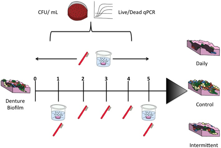 Sequential treatment of denture biofilm protocol . PMMA discs were placed in 24 well plates for biofilm culture. Biofilms were treated daily with brushing and a denture cleanser for 5 days or were brushed every day with denture cleansing on day 1 and day 5. Untreated controls were maintained in artificial saliva during treatments.