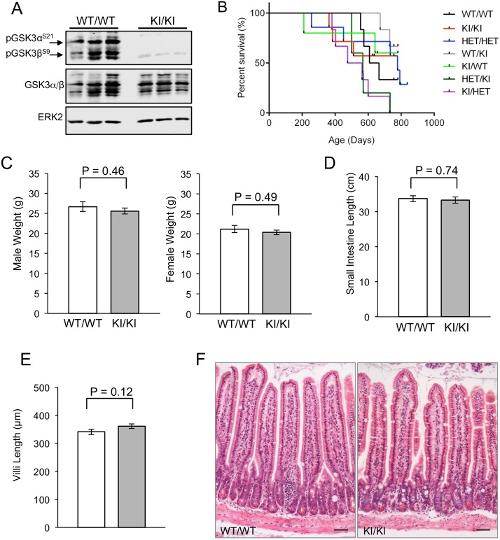 GSK3α/β KI/KI phenotype. A: Immunoblots show no phosphorylation of serine 21 of GSK3α or serine 9 of GSK3β in the GSK3α/β KI/KI animals. Protein lysates derived from the small intestine of control wild-type or mutant GSK3α/β KI/KI mice were analysed with an antibody for phosphorylated GSK3α/β. Immunoblotting for GSK3α/β and ERK2 was used to determine equal protein loading. B: Kaplan-Meier survival analysis of GSK3α/β mutant mice. All mice were kept on study until they became moribund. None of these animals demonstrated specific symptoms prior to this. Genotypes of mice are as follows: WT/WT = GSK3α +/+ ;GSK3β +/+ (n = 6), KI/KI = GSK3α S21A/S21A ;GSK3β S9A/S9A (n = 7), HET/HET = GSK3α +/S21A ;GSK3β +/S9A (n = 7), WT/KI = GSK3α +/+ ;GSK3β S9A/S9A (n = 6), KI/WT = GSK3α S21A/S21A ;GSK3β +/+ (n = 5), HET/KI = GSK3α +/S21A ;GSK3β S9A/S9A (n = 5), KI/HET = GSK3α S21A/S21A ;GSK3β +/S9A (n = 6). Black tick marks show censored data. Median survival was as follows: WT/WT = 637d, KI/KI = 686d, HET/HET = 778d, WT/KI = undefined, KI/WT = undefined, HET/KI = 568d and KI/HET = 519d. C: Weight analysis. Age matched males and females were weighed at 10 weeks of age. Genotypes of mice were: WT/WT = GSK3α +/+ ;GSK3β +/+ (n = 3), KI/KI = GSK3α S21A/S21A ;GSK3β S9A/S9A (n = 3) for each sex. Mean + SEM are shown, demonstrating no statistically significant difference in the mean weights for any group using the Student's t-test. D: Intestine length. The small intestine length was measured and mean length + SEM is shown. Genotypes of mice were: WT/WT = GSK3α +/+ ;GSK3β +/+ (n = 6), KI/KI = GSK3α S21A/S21A ;GSK3β S9A/S9A (n = 7). No statistically significant difference was observed using the Student's t-test. E: Villus length. The length of villi was measured in age matched males and females at 10 weeks of age. Genotypes of mice were: WT/WT = GSK3α +/+ ;GSK3β +/+ (n = 5), KI/KI = GSK3α S21A/S21A ;GSK3β S9A/S9A (n = 7). 50 villi were measured per animal. No statistically significant differen