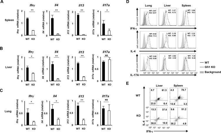 Reduction of IFN-γand Th2 cytokine production in Gfi1 -deficient iNKT cells. The results of the quantitative RT-PCR analysis of cytokine mRNA in iNKT cells from the spleen (A) , liver (B) and lung (C) of WT and Gfi1 -deficient mice. The iNKT cells were purified by FACS sorting and stimulated with PMA plus ionomycin for 2h. The results are presented relative to the mRNA expression of 18s ribosomal RNA with the standard deviation (n = 3). NS; not significant, *P