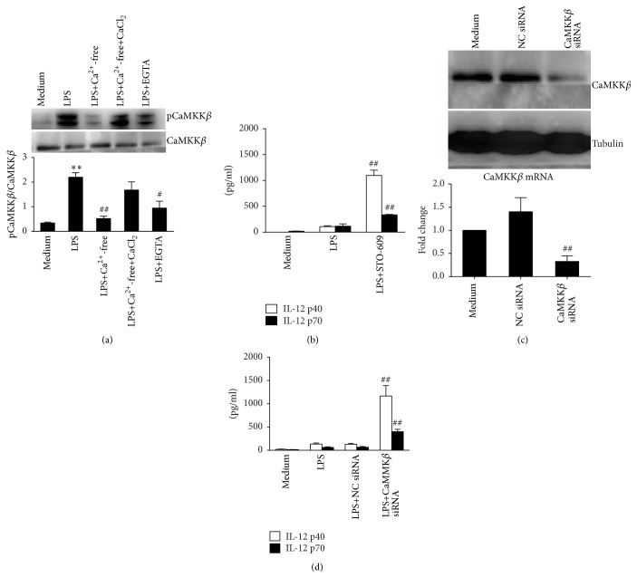 Activation of CaMKK β mediates the inhibition of calcium-dependent IL-2 production in RAW 264.7 cells. (a) Cells were treated with LPS in normal DMEM, calcium-free DMEM, calcium-free DMEM with 2 mM CaCl 2 , or DMEM with 5 mM EGTA for 30 min. Protein levels of CaMKK β and pCaMKK β were detected by western blot. Comparison was made for pCaMKK β /CaMKK β . ∗∗ P