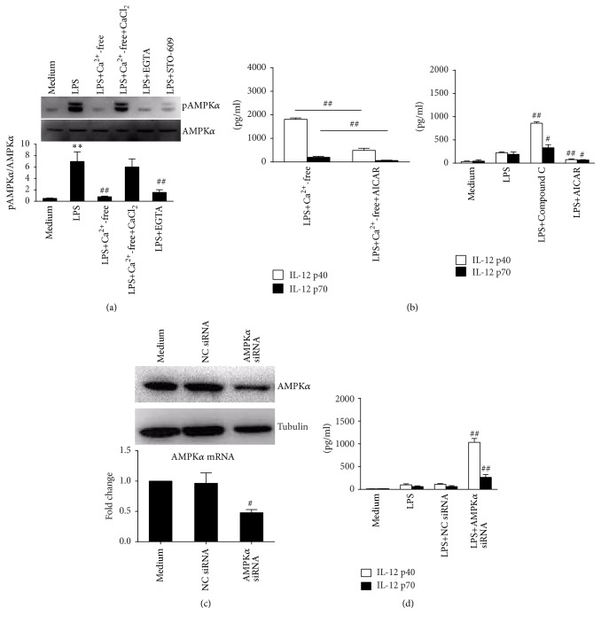 AMPK is activated downstream of CaMKK β for the negative control of the LPS induced IL-12 production in RAW 264.7 cells. (a) Cells were treated with LPS alone or with calcium-free DMEM, 2 mM CaCl 2 , 5 mM EGTA, or 1 μ M STO-609 for 30 min. Protein levels of AMPK α and pAMPK α were detected by western blot. ∗∗ P