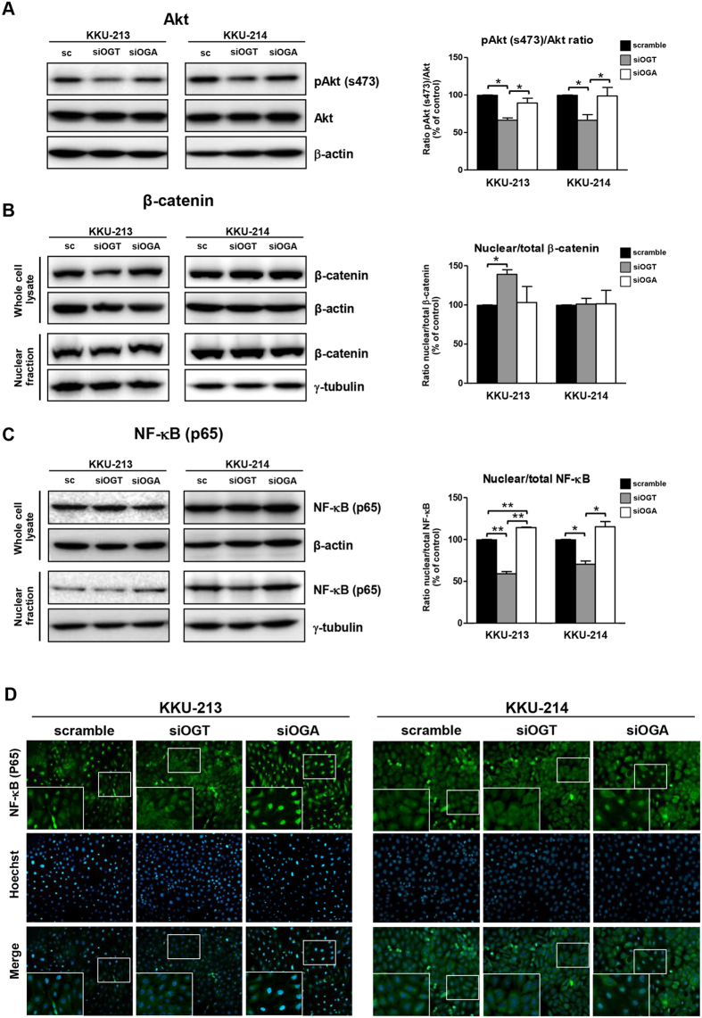 NF-κB nuclear translocations and <t>Akt</t> phosphorylations were associated with O-GlcNAcylation. The activations of Akt, <t>β-catenin</t> and NF-kB were determined in 48 h treated siOGT; and siOGA cells. ( A ) Total Akt and phosphorylated-Akt were determined by western blot analysis. ( B ) Total cellular and nuclear β-catenin and ( C ) NF-κB were examined by western blotting. ( D ) Cellular localization of NF-κB (green) is demonstrated by immunocytofluorescent staining; nuclei (blue) are stained with Hoechst 33342. The quantitative analyses are compared in each graph by using the scramble control as 100%. The results (mean ± SEM) are the averages from three independent experiments; * P