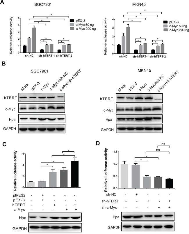 The intact hTERT and c-Myc complex is essential for heparanase promoter activity and expression A. and B. hTERT knockdown impaired c-Myc-enhanced heparanase promoter activities and protein expression. SGC7901 and MKN45 cells were transiently transfected with pEX-3 or c-Myc plasmids, and sh-hTERT-1 or sh-hTERT-2 as indicated, respectively. The relative luciferase activities of the heparanase promoter and protein expression were examined using the dual luciferase assay and western blot analysis. (* P