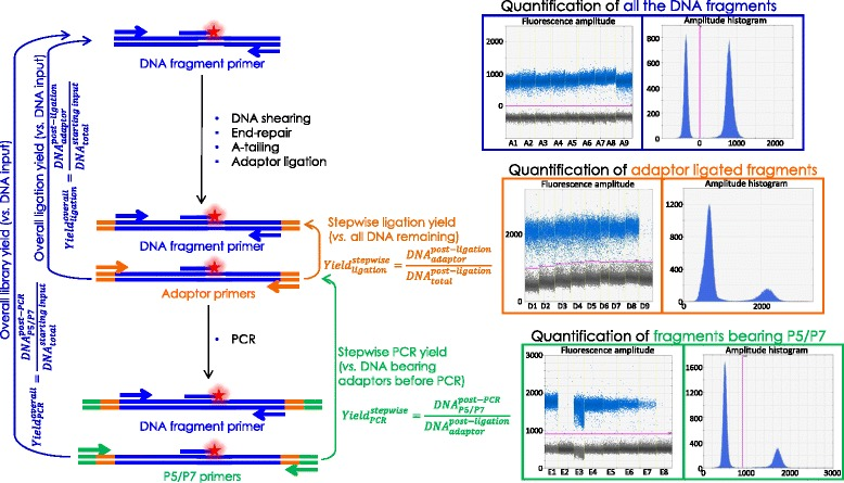 Schematic of the ddPCR assay to test the amount of DNA remaining at each step of the library preparation (using DNA fragment specific primers shown by blue arrows [ 15 ]) and to measure the amount of DNA fragment bearing adaptors after the ligation step (using the adaptor specific primers shown in orange ) and <t>P5/P7</t> primers after the amplification step (using the P5/P7 primers shown in green )