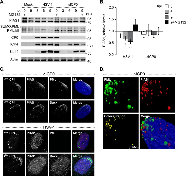 ICP0 disperses PIAS1 away from domains that contain infecting HSV-1 genomes without targeting it for proteasomal degradation. (A) Western blots show PIAS1 protein levels during wild-type or ICP0-null mutant HSV-1 infection. HFt cells were infected with 10 PFU of wild-type (HSV-1) or ICP0-null mutant (ΔICP0) HSV-1 per cell in the presence (+) or absence (−) of the proteasome inhibitor MG132. Whole-cell lysates were harvested at 3, 6, or 9 h postinfection (hpi), and proteins were resolved by Tris-Tricine SDS-PAGE. Membranes were probed for PIAS1, PML as an example of an ICP0 substrate, ICP0, ICP4, and UL42 to show the progression of infection, and actin as a loading control. Molecular masses are indicated. (B) Bar graph shows the average relative levels of PIAS1 during infection with wild-type or ICP0-null mutant HSV-1. The intensities of PIAS1 protein bands were quantitated from Western blots as in panel A, normalized to their respective loading control, and presented as a ratio to the level in mock-infected cells at 9 hpi (1.0). Means and standard error of the means (SEM) are shown ( n = 7). *, P