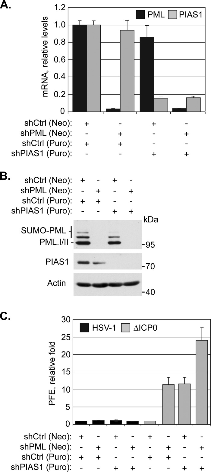 PIAS1 repression of ICP0-null mutant HSV-1 replication is additive to that of PML. (A) Bar graph showing the average relative levels of PML or PIAS1 mRNA in transgenic HFt cells that express shRNA against PML (shPML), PIAS1 (shPIAS1), or a nontargeted control (shCtrl). PML or PIAS1 mRNA levels were determined using the TaqMan system of quantitative RT-PCR. Values normalized to GAPDH expression using the threshold cycle (ΔΔ C T ) method are expressed relative to mock-infected cells (1.0). Means and standard deviations (SD) are shown ( n > 3). (B) Western blots show PML or PIAS1 protein levels in transgenic HFt cells that express shPML, shPIAS1, or shCtrl. Whole-cell lysates were resolved by Tris-glycine SDS-PAGE. Membranes were probed for PML or PIAS1 and for actin as a loading control. Molecular masses are indicated. (C) Bar graph showing the average relative plaque forming efficiency (PFE) of wild-type (HSV-1) or ICP0-null mutant (ΔICP0) HSV-1 in transgenic HFt cells that express shCtrl, shPML, or shPIAS1. The number of plaques for each strain is expressed relative to the corresponding number of plaques for that strain in shCtrl-expressing cells. Means and SD are shown ( n = 6). Neo, neomycin; Puro, puromycin.