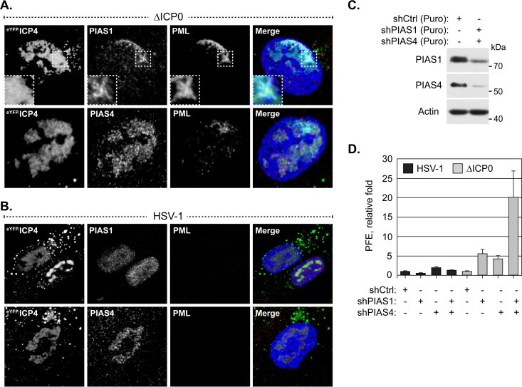 PIAS1 and PIAS4 cooperatively restrict ICP0-null mutant HSV-1 replication. (A and B) Confocal microscopy images show the localization of PIAS1 and PIAS4 in HSV-1-infected cells. HFt cells were infected with 2 or 0.002 PFU per cell of ICP0-null mutant (A) or wild-type HSV-1 (B), respectively, for 16 h. PIAS1 (red), PIAS4 (red), and PML (cyan) were visualized by indirect immunofluorescence. Replication compartments were identified by the accumulation of eYFP.ICP4. Insets (dashed boxes in panel A) highlight a region where PIAS1 and PML colocalize within a replication compartment. Nuclei were stained with DAPI (blue). (C) Western blots show PIAS1 or PIAS4 protein levels in transgenic HFt cells that express shRNA against PIAS1 (shPIAS1), PIAS4 (shPIAS4), or a nontargeted control (shCtrl). Whole-cell lysates were resolved by Tris-glycine SDS-PAGE. Membranes were probed for PIAS1 or PIAS4 and for actin as a loading control. Molecular masses are indicated. Puro, puromycin. (D) Bar graph showing the average relative PFE of wild-type or ICP0-null mutant HSV-1 in transgenic HFt cells that express shPIAS1, shPIAS4, or shCtrl. The number of plaques for each strain is expressed relative to the corresponding number of plaques for that strain in cells that express shCtrl. Means and SD are shown ( n = 6).
