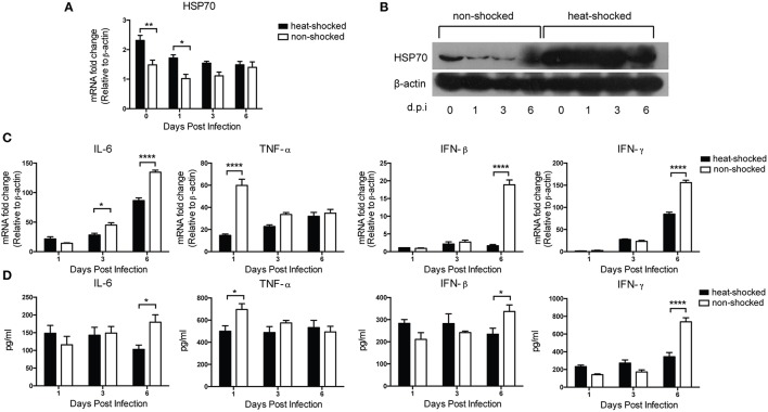 Effect of heat shock treatment on HSP70 and inflammatory cytokines expression in H5N1-infected mice . Mice in the heat-shocked group were exposed to 39°C for 4 h before being infected with 3 LD 50 H5N1 HPAIV intranasally. Mice in the non-shocked group were maintained at room temperature (25°C). After infection, all the mice were maintained at room temperature. Mice were sacrificed at Days 0, 1, 3, and 6 post-infection for lung tissues harvest. HSP70 expression was determined by qPCR (A) and western blot (B) . IL-6, TNF-α, IFN-β, and IFN-γ expressions were determined by qPCR (C) and ELISA (D) . Gene expression was normalized with β-actin as an internal standard ( n = 3–5, * p