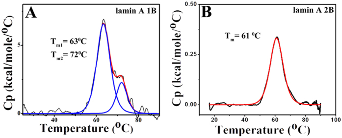 Thermal denaturation of lamin 1B and 2B domain. The thermal denaturation studies of the 1B and 2B domains were performed using differential scanning calorimetry in panels ( A B ). 1B domain (panel A ) was unfolding via an intermediate pathway whereas 2B (panel B ) was denatured via the two-state mechanism. The first transition temperature for the 1B was at 63 °C and the final transition was at 72 °C, but 2B domain unfolded at 61 °C. Black curves represent the thermogram whereas red and blue curves were depicting the two-state and three-state fitting. All the fittings were performed using origin 6.0. Thermal unfolding experiments were performed at 20 μM and 100 μM concentration for 1B and 2B respectively at a scan rate of 30 °C/hr in 25 mM Tris-Cl (pH 8.5), 250 mM NaCl buffer.