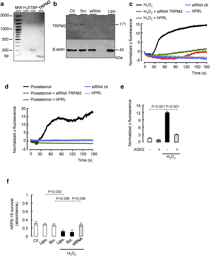 PRL maintains human RPE cell survival by inhibiting the oxidant-induced SIRT2-dependent induction of TRPM2-mediated intracellular Ca 2+ increase. (a) RT-PCR and (b) Western-blotting of TRPM2 in ARPE-19 cell lysates. (a) TBP was used as a positive control. bp, DNA ladder. RT-PCR was performed in RNA extracted from three independent cell cultures (N = 3). (b) ARPE-19 cells were untreated (Ctl), subjected to lipofectamin alone (Lipo.) or transfected with siRNA against TRPM2 (siRNA) or scramble sequence (Scr.). TRPM2 siRNA efficiently reduced TRPM2 expression as observed by immunoblotting using an anti-TRPM2 antibody that labeled a protein at the expected molecular weight for TRPM2 (171 kDa). β-Actin served as loading control. Extracts from three independent ARPE-19 cell cultures in each condition were analyzed (N = 3). (c, d) Measurement of the change in intracellular Ca 2+ measured by the change in fluo-8 fluorescence (Δ fluorescence) in ARPE19 cells exposed to (c) H 2 O 2 (100 μM) or (d) piceatannol (10 μM) while TRPM2 was blocked by siRNA against TRPM2 or PRL was applied (hPRL, 100 pmol/l, 15-min pretreatment). Scramble sequence (siRNA ctl) was used as a negative control for siRNA against TRPM2. Treatments with H 2 O 2 or piceatannol began at time = 0 s ( n = 170–190 cells; N = 3 independent replicates). (e) Ca 2+ -dependent fluorescence change in ARPE19 cells 180 s after application of SIRT2 inhibitor AGK2 (10 μM) combined or not with H 2 O 2 (100 μM) ( n = 160–190 cells; N = 3 independent replicates). (f) Effect of TRPM2 inhibition on survival of ARPE-19 subjected to a 24-h H 2 O 2 insult (100 μM) by MTT assay. ARPE-19 cells were untreated (Ctl), treated with lipofectamin alone (Lipo.) or transfected with siRNA against TRPM2 or the scramble sequence (Scr.) 24 h prior initiating the MTT assay. In (c–e), signals were normalized by subtracting the Fluo-8 Δ fluorescence to the one in untreated conditions. All bar plots, mean plus S.E.M.; P values: ANOVA and Bonferroni