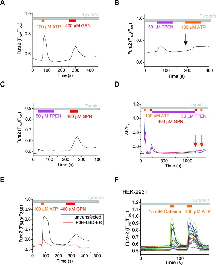 The ER Ca 2+ store regulates lysosome Ca 2+ stores. ( A ) In un-transfected HEK293T cells, ATP induced Ca 2+ release through IP3-receptors on the ER, and GPN induced lysosomal Ca 2+ release. ( B ) A 2-min application of TPEN, a membrane-permeable chelator of luminal ER Ca 2+ , attenuated Ca 2+ release from IP3-receptors stimulated by ATP in HEK293T cells. ( C ) A 2-min TPEN application did not significantly reduce GPN-induced lysosomal Ca 2+ release in HEK293T cells. ( D ) Long-term TPEN treatment (20 min) abolished ER Ca 2+ release upon ATP stimulation and GPN-induced lysosomal Ca 2+ release in HEK293T cells loaded with Fura-2. ( E ) In HEK293T cells transfected with the IP3R-ligand binding domain with ER targeting sequence (IP3R-LBD-ER), the responses to ATP and GPN were reduced compared to un-transfected cells on the same coverslip. ( F ) Caffeine stimulates Ca 2+ release from <t>ryanodine</t> receptors and ATP stimulates Ca 2+ release from IP3Rs in HEK-GCaMP3-ML1 cells loaded with Fura-2. Panels A – C and E show the average response of 30–40 cells from one representative experiment. DOI: http://dx.doi.org/10.7554/eLife.15887.011