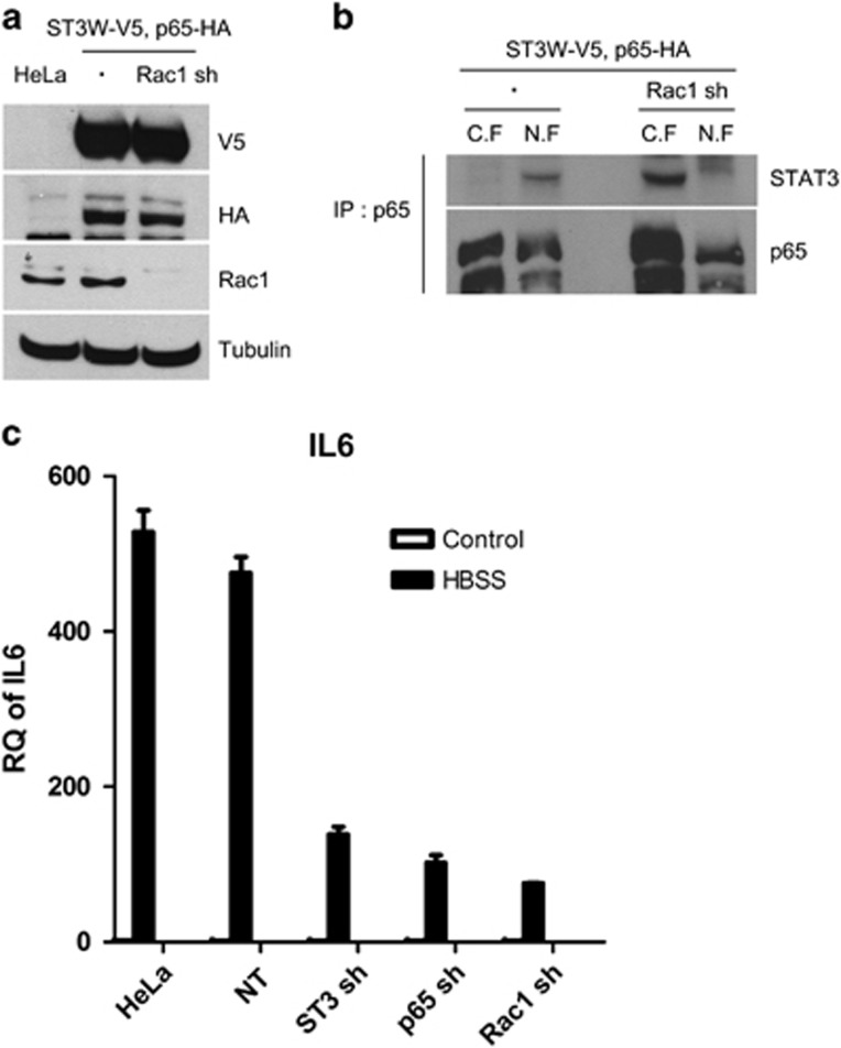 Rac1 is required for nuclear translocation of the STAT3–NFκB complex in starved cancer cells. ( a ) Parental HeLa cells and HeLa cells expressing STAT3WT-V5 and p65-HA, and STAT3WT-V5, p65-HA and Rac1 shRNA were western blotted with V5 Ab, HA Ab, Rac1 Ab and tubulin Ab. ( b ) HeLa cells expressing ST3WT-V5 and p65-HA, and ST3WT-V5, p65-HA and Rac1 shRNA were incubated in HBSS for 8 h and had their nuclear and cytoplasmic fraction extracted and immunoprecipitated with anti-p65 Ab, followed by western blotting with STAT3 Ab and p65 Ab. ( c ) HeLa cells expressing NT shRNA, STAT3 shRNA, p65 shRNA or Rac1 shRNA were incubated in HBSS for 16 h, and the amounts of IL6 mRNA were measured by real-time PCR. Data are presented as relative quantitation (RQ)±s.d. Ab, antibody; C.F., cytoplasmic fraction; HBSS, Hank's balanced salt solution; IP, immunoprecipitate; mRNA, messenger RNA; NT, non-target; N.F., nuclear fraction; NFκB, nuclear factor κB; shRNA, short hairpin RNA; STAT3, signal transducer and activator of transcription 3.