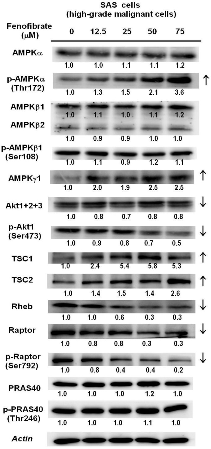 Dose-dependent changes in AMPK/mTOR or Akt/mTOR signaling protein levels in SAS cells treated with fenofibrate. SAS cells were treated with 0, 12.5, 25, 50, and 75 μM fenofibrate for 4 hrs. Changes in the expression levels of AMPKα, p-AMPKα (Thr172), AMPKβ1/2, p-AMPKβ1 (Ser108), AMPKγ1, Akt1+2+3, p-Akt1(Ser473), tuberous sclerosis complex-1 (TSC1), TSC2, Ras homolog enriched in brain (Rheb), raptor, p-raptor (Ser792), PRAS40, and p-PRAS40 (Thr246) were measured by Western blot analysis. β-Actin was used as an internal control.