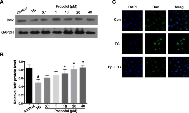 Propofol effect on apoptosis-associated proteins in TG-treated ARPE-19 cells. (A) Representative western blot for <t>Bcl2.</t> (B) Propofol attenuated the Bcl2 downregulation induced by TG in ARPE-19 cells. ARPE-19 cells were precubated with propofol for 12 h at different concentration, the treated with 1 μM TG for 12 h. The data are presented as the mean ± SEM from three independent experiments. Statistical analysis was performed by one-way analysis of variance with all pairwise multiple comparison procedures done by Tukey test. # p