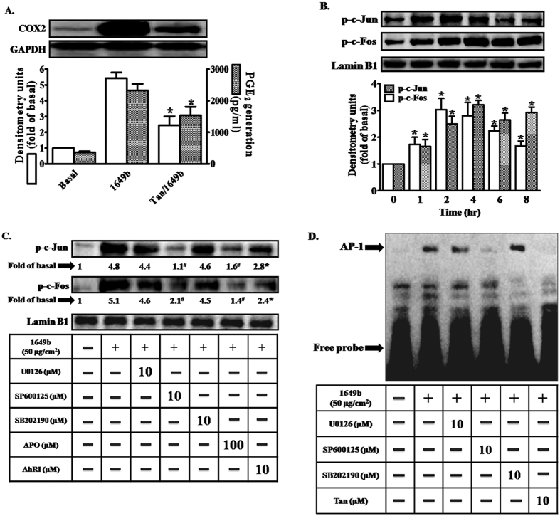 """Activation of activator protein 1 (AP-1) is a critical event in PMs-induced up-regulation of COX2 expression. Cells were pre-incubated with AP-1 inhibitor (tanshinone IIA; Tan) (10 μM) for 1 h and then exposed to PMs (50 μg/cm 2 ) for 24 h. ( A) COX2 protein expression (open bars) and prostaglandin E2 (PGE2) production (shaded bars) were determined by Western blotting and ELISA as described in Fig. 1 . (B,C ) Cells were pre-incubated with AhRI (10 μM), APO (100 μM), U0126 (10 μM), SB202190 (10 μM), SP60015 (10 μM) or BAY (10 μM) for 1 h and then exposed to PMs (50 μg/cm 2 ) for 2 h. The nuclear extract levels of c-Jun and c-Fos protein were detected using phospho-c-Jun and phospho-c-Fos antibodies, determined by Western blotting (Fig. 6 C ). Lamin-B1 was used as the loading control. ( D) Cells were pre-incubated with U0126 (10 μM), SB202190 (10 μM), SP60015 (10 μM) or Tan (10 μM) for 1 h and then exposed to PMs (50 μg/cm 2 ) for 2 h. Electrophoretic mobility-shift assay for assessment of AP-1 DNA binding activity, as described in """"Materials and methods"""". Data are expressed as mean ± standard error of the mean, based on three independent experiments. * P"""