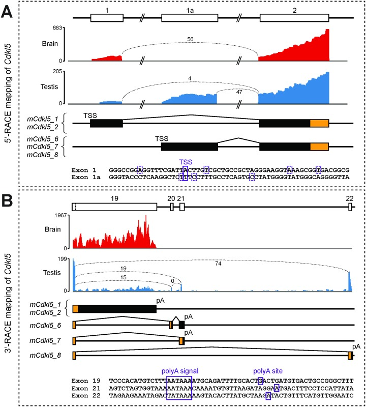 RNA-seq and 5' and 3'-RACE mapping of mouse Cdkl5 transcripts. (A) Upper panels: RNA-seq data from brain (red) and testis (blue) datasets show reads mapping to the 5' end of Cdkl5 (the y-axis indicates read count across the analysed region). Indicative numbers of RNA-seq reads spanning each exon junction are also shown, indicated by values and dotted lines joining exon boundaries. Middle panels: boxes representing each exon at the 5' end of the gene are shown, aligned with those in the upper panels. Transcription Start Sites (TSSs) and splice events upstream of exon 2 are indicated. Coding regions are indicated by orange colouring and 5'-UTRs by black colouring. Lower panel: exonic sequences for each first exon are shown. TSSs, confirmed by sequencing of 5'-RACE products, are indicated by boxes; the major TSS is indicated by a solid box, minor TSSs are indicated by hatched boxes. (B) Upper panels: RNA-seq data from brain and testis datasets show reads mapping to the 3' end of Cdkl5 ; exon boundary-spanning red counts are also shown, as in (A), above. Middle panels: the exon composition and splicing patterns at the 3' end of each mouse isoform is shown, colouring as in A) above. Lower panel: sequences around each of the three polyadenylation signals and sites (pA) are shown; each was confirmed by sequencing of 3'-RACE mapping.