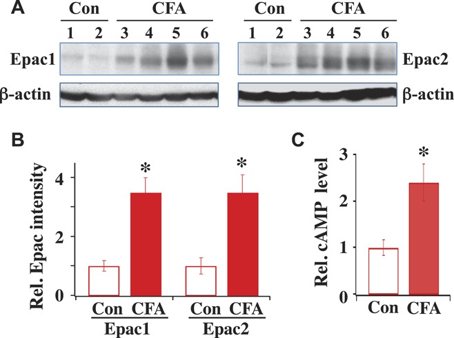Epac1 and Epac2 expression and cyclic adenosine monophosphate (cAMP) level increase after complete Freund adjuvant (CFA)–induced inflammation. (A) Expression of Epac1 and Epac2 in control (Con) and CFA-treated rats. Western blots of Epac1 and Epac2 expressed in L4 and L5 dorsal root ganglia (DRGs) isolated from control rat 1 and 2 or from inflamed rat 3 to 6. Same rat protein samples were used for both Epac1 and Epac2 measurements. (B) Summary of Epac1 and Epac2 expression. The intensity of each protein band was determined and normalized with its respective β-actin, which was used as a loading control. Relative protein intensity after CFA is expressed as fold-increase by dividing the normalized protein intensity obtained after CFA with respect to that obtained under pre-CFA control condition. Compared to the control, Epac1 expression after CFA was (CFA/Con = 3.5 ± 0.5; n = 4) and Epac2 expression after CFA was (CFA/Con = 3.0 ± 0.6; n = 4). * P