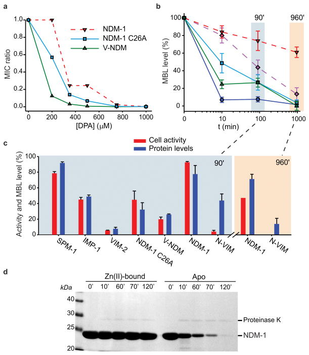 Membrane-anchoring protects NDM-1 from degradation upon Zn(II) deprivation ( a ) Relative MICs of cefotaxime for  E. coli  cells expressing wild type or mutant variants of NDM-1 in growth medium supplemented with different concentrations of the metal chelator DPA. Data correspond to three independent experiments, with standard errors ≤16% of each data point. ( b ) MBL levels in periplasmic (solid lines) or membrane (dashed lines) fractions as a function of time after addition of 1000 μM DPA, relative to levels in untreated control samples grown in the same conditions. Data correspond to three independent experiments and are shown as mean ± s.e.m. ( c ) Comparison between whole cell imipenem hydrolysis rates and periplasmic MBL levels after 90-minute incubation with 1000 μM DPA. Values are relative to untreated control samples grown in the same conditions, and protein levels correspond to those of Fig. 3b. The same data was determined for membrane bound variants after 960 minutes. Data correspond to three independent experiments are shown as mean ± s.e.m. Equal amounts of total protein were loaded on gels for each sample. ( d ) Limited proteolysis of purified recombinant NDM-1 (a soluble variant lacking the lipobox sequence), in its Zn(II)-bound or apo form. Aliquots were taken at various time intervals after addition of 2.5 μg proteinase K to solutions of 200 μg protein, and analyzed by SDS-PAGE. Original gel is displayed in  Supplementary Figure 11 .