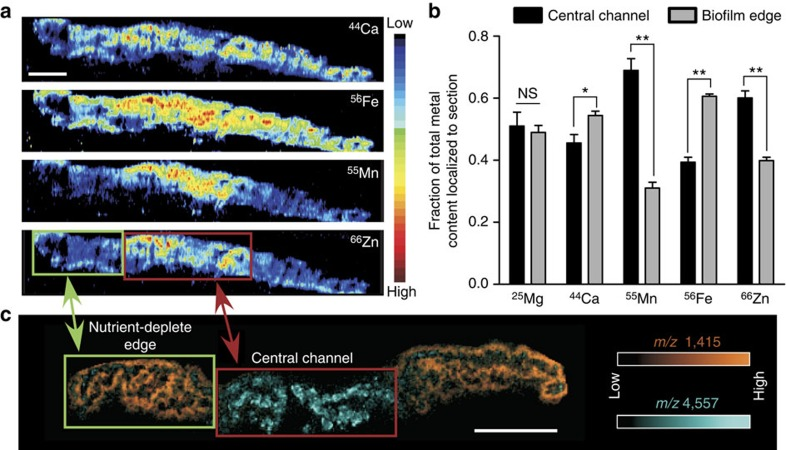 Differences in metal distribution patterns revealed by LA-ICP IMS correlate with differential protein localization within the biofilm. ( a ) LA-ICP IMS analysis of a biofilm section containing a defined 'central channel' and 'nutrient-deplete edge'. Scale bar, 2 mm. ( b ) ICP-MS quantification of metal levels within distinct portions of the biofilm. Error bars represent s.d. of data derived from triplicate biofilms. '*' designates P