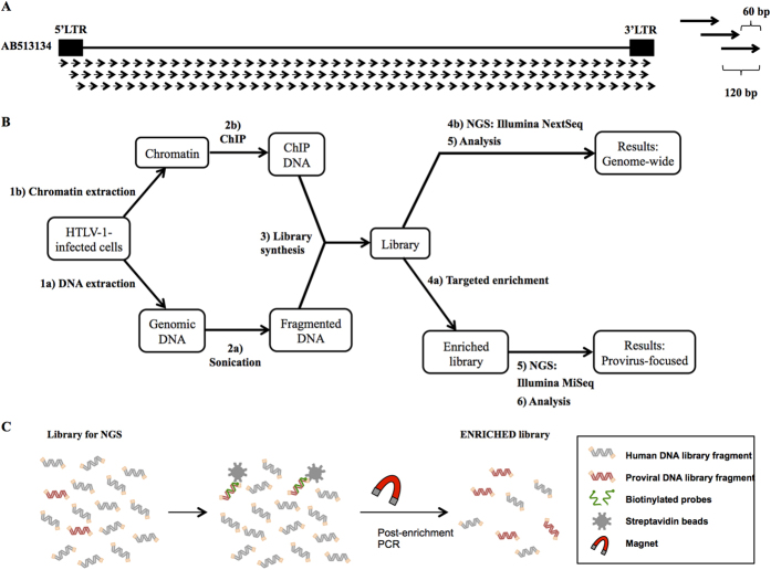 Design of DNA probes and experimental flow for the enrichment of HTLV-1 proviral DNA. ( A ) Design of the probes. One hundred and forty eight probes, 120 bp in length and with a 60 bp tiling, were constructed. ( B ) Experimental flow for the applications of the targeted enrichment. Genomic DNA or chromatin samples extracted from infected cells can be analyzed to render genome-wide or provirus-focused information. The enrichment of genomic DNA samples containing the viral genome may help discover new proviral sequences with more accuracy due to the higher number of reads that are obtained during the process. The enrichment of ChIP DNA could provide information on the epigenetic profile of the provirus. In addition, not enriching the samples could give the genome-wide context of the proviral profile. ( C ) Experimental flow for the enrichment protocol. DNA libraries prepared for NGS are mixed with the virus-specific biotinylated probes to allow the hybridization. Subsequently, streptavidin-coated magnetic beads are added to allow the isolation of the proviral DNA fragments.