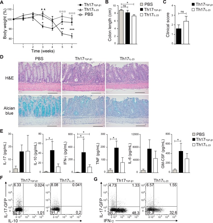 Th17 TGF-β1 cells are less colitogenic than Th17 IL-23 cells and produce IL-10 and IFN-γ in vivo . 1.3x10 6 IL-17-GFP+ Th17 TGF-β1 and Th17 IL-23 cells were transferred to Rag1 -/- mice. (A) The weight of mice was measured over the course of 6 weeks after adoptive transfer of Th17 cells (n = 5–8 mice per group). (B) Colon length was measured 6 weeks following transfer of Th17 cells (n = 5). (C) Clinical score was calculated based on weight loss and colon length 6 weeks after adoptive transfer of Th17 cells (n = 5). (D) Colonic histopathology. H E and alcian blue staining, original magnification 20X. Scale bar 100 μm (E) To determine intestinal cytokine production, intestinal tissues of Th17 recipient mice were cultured for 24 hs at 37°C and 5% CO 2 and production of several cytokines was analyzed by CBA (n = 6). (F and G) Representative FACS analysis of IL-17, IL-10 and IFN-γ production by Th17 TGF-β1 and Th17 IL-23 cells 6 weeks after adoptive transfer to Rag1 -/- mice. Data are presented as mean ± S.E.M. *p