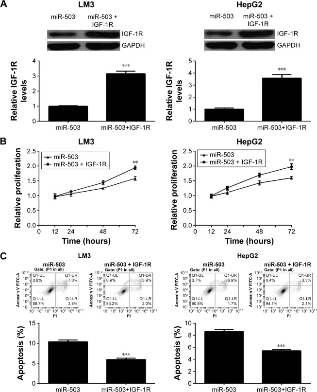 Overexpression of IGF-1R reverses miR-503-mediated suppressive effects on LM3 and HepG2 cells. Notes: LM3 and HepG2 cells were transfected with miR-503 mimic with or without IGF-1R plasmid. ( A ) The protein levels of IGF-1R were then examined using Western blot assay. ( B ) MTT assay and ( C ) flow <t>cytometry</t> were conducted to examine the cell proliferation and apoptosis, respectively. ** P