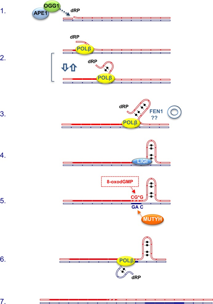 Novel contributors in TNR expansion process. Following an initial incision event mediated by OGG1 and APE1 at an 8-oxodG site in the top strand (red, step 1), POL drives repair synthesis by LP BER. Long flaps might eventually fold in stable secondary structures (step 2). A faulty removal by FEN1 depending on flap conformations might leave hairpins with unligatable dRP ends (step 3). Removal of dRP by POL β allows ligation by LIG1 (step 4). If 8-oxodGTP is present in the dNTPs pool, 8-oxodGMP can be incorporated opposite A in the complementary strand creating a substrate for MUTYH (step 5). MUTYH activity on the bottom strand (blue) allows the initiation of a new repair event, as well as an elongation process on this side (step 6). Realignements of the strands will result in TNR expansion (step 7). Newly synthesized tracts are represented by full rectangles. The proposed model has been modified from refs. ( 12 , 16 , 40 ).