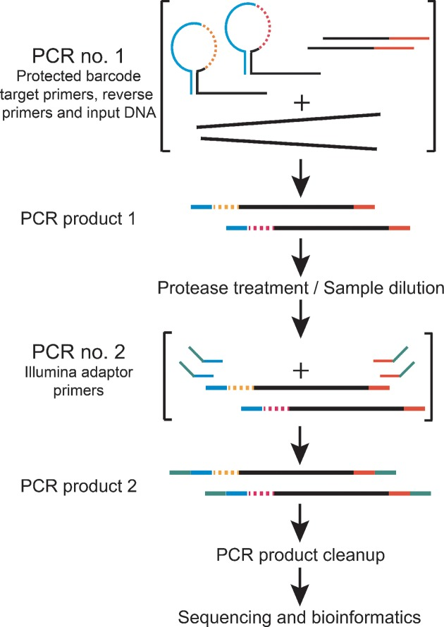 Schematic library construction workflow. In the first PCR consisting of three cycles, target DNA is amplified with hairpin protected barcode primers. The reaction is terminated with an incubation step that is a combined dilution and protease treatment step. In the second PCR that consists of 18–30 cycles, all individual amplicons are amplified to generate PCR products with <t>Illumina</t> adapter primers. Final libraries are purified with magnetic beads, normalized for concentration differences between samples and sequenced.