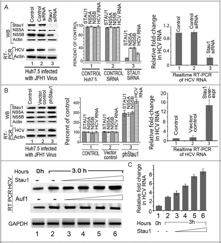 Effect of Stau1 on HCV replication and translation. ( A ) Downregulation of Stau1 inhibits HCV replication and translation. Huh7.5 cells transfected with Stau1 siRNA or control siRNA were grown for 24 h, then infected with JFH1 HCV. Forty-eight hours later, cell lysates were prepared, and western blotted for Stau1, NS5A, NS5B and RT-PCR on total RNA to determine levels of HCV RNA and GAPDH mRNA. Lane 1, untransfected controls; Lane 2, cells transfected with control siRNA; Lane 3, cells transfected with Stau1 siRNA. The middle panel shows quantitation of WB and RT-PCR bands. The right panel shows quantitative RT PCR of HCV RNA and GAPDH mRNA. Relative fold change in HCV RNA was calculated by normalizing the amount of GAPDH mRNA in each sample. All experiments were done in triplicate for each data point. ( B ) Overexpression of Stau1 enhances HCV replication and translation. Huh7.5 cells transfected with overexpressing Stau1 clone ( lane 3 ) or vector alone ( lane 2 ) were grown for 24 h, then infected with JFH1 HCV. Forty-eight hours later, cells were analyzed for the expression of Stau1, NS5A, NS5B and actin by WB. Total RNA was isolated from another set of experiments and analyzed for HCV RNA and GAPDH mRNA by RT-PCR. Lane 1, control; Lane 2, vector control; Lane 3, Stau1 overexpressed. The middle panel shows the quantitation of WB and RT-PCR bands. The right panel shows quantitative RT PCR of HCV RNA. ( C ) Effect of exogenously added Stau1 on in-vitro endogenous HCV replication in cell-free replication lysate. Endogenous HCV replication of cell-free replication lysate was done as described in the Materials and Methods ( 41 , 70 ). Lanes 1 and 2, control replication lysate alone incubated at 0 and 3 h, respectively. Lane 3–6 cell-free replication lysate supplemented with increasing concentration (0.25–1.5 pmol) of either Stau1 (top panel) or Auf1 (middle panel).