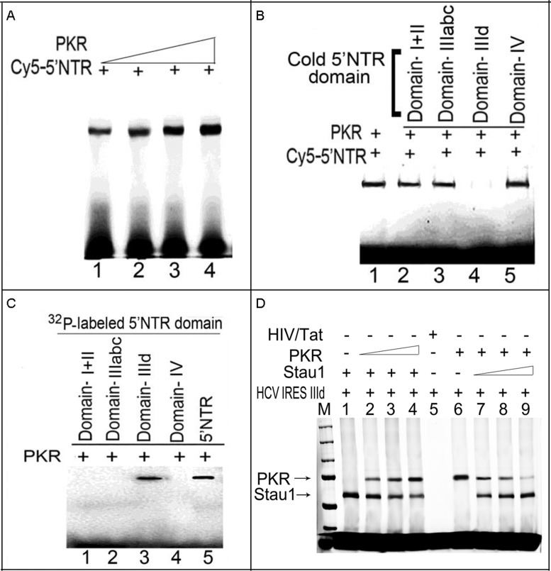 PKR binding to HCV 5′NTR is out-competed by HCV IRES domain IIId. ( A ) PKR binds to HCV 5′NTR. One picomole of Cy5-labeled HCV 5′NTR was incubated with increasing concentrations of purified PKR (0.75, 1.5, 3 and 6 pmol) (lanes 1–4). The samples were UV-irradiated, then treated with RNase A and resolved by SDS-PAGE. Crosslinked RNA–protein complexes were detected using a Typhoon scanner. ( B ) PKR competes specifically for domain IIId of the IRES region. Purified PKR was crosslinked with Cy5-labeled 5′NTR in the absence (lane 1) or presence (lanes 3–5) of unlabeled competitor RNA corresponding to domains I+II, IIIabc, IIId and IV. ( C ) PKR specifically binds to domain IIId of HCV IRES. Internally 32 P-labeled in-vitro -transcribed RNA fragments corresponding to domains I+II, IIIabc, IIId and IV were crosslinked to PKR, treated with RNase A and resolved by SDS-PAGE. Only domain IIId crosslinked with PKR (lane 3). ( D ) Stau1 and PKR compete for the same binding site on HCV 5′NTR IIId region. We first incubated a fixed concentration (1 pmol) of Stau1 or PKR with 1 pmol in-vitro -transcribed Cy5-labeled domain IIId RNA on ice for 15 min and then supplemented with increasing concentration (1–3 pmol) of the competitor (PKR or Stau1) protein. After 20-min incubation on ice, the mixture was photocrosslinked, treated with RNase-A and resolved by SDS-PAGE. Lanes 1 and 6, respectively, represent binding of Stau1 and PKR to HCV IRES domain IIId RNA in the absence of competitor protein. Lanes 2–3 represents the competition of Stau1 binding to domain IIId RNA with PKR; Lanes 7–9 represent the competition of PKR binding to domain IIId RNA with Stau1.