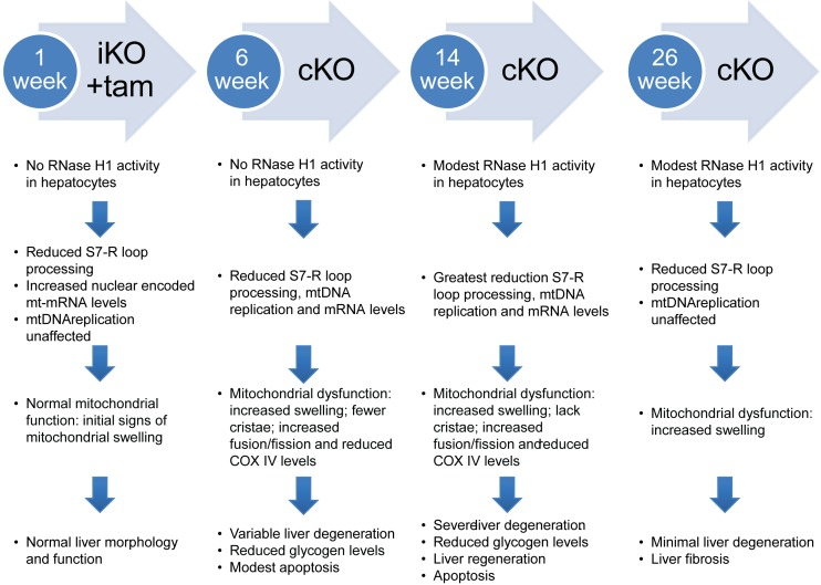 Progression of mitochondrial dysfunction and liver disease absent functional RNase H1. Summary of the observations of RNase H1 iKO and cKO mice.