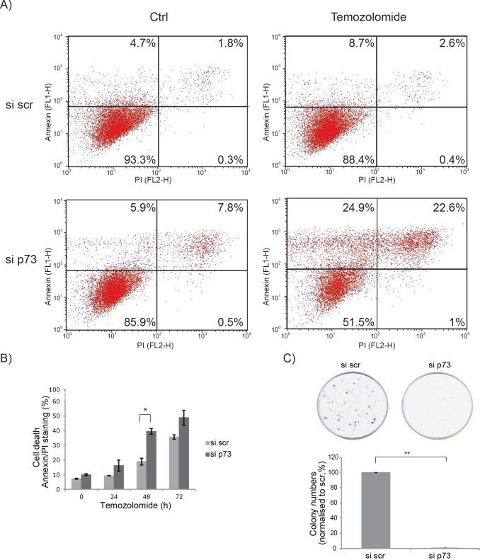 Glioblastoma are more chemo-sensitive after p73 knock down A. U251 cells were treated with 50 μM Temozolomide for 48 h. Early and late apoptosis was detected using Annexin V/PI-double staining followed by flow cytometry analysis. B. As in A, but with additional time points of Temozolomide treatment of 24 and 72 h, total apoptosis was quantified and is shown. C. Colony formation assay after p73 knock down. * p = 0.05, ** p